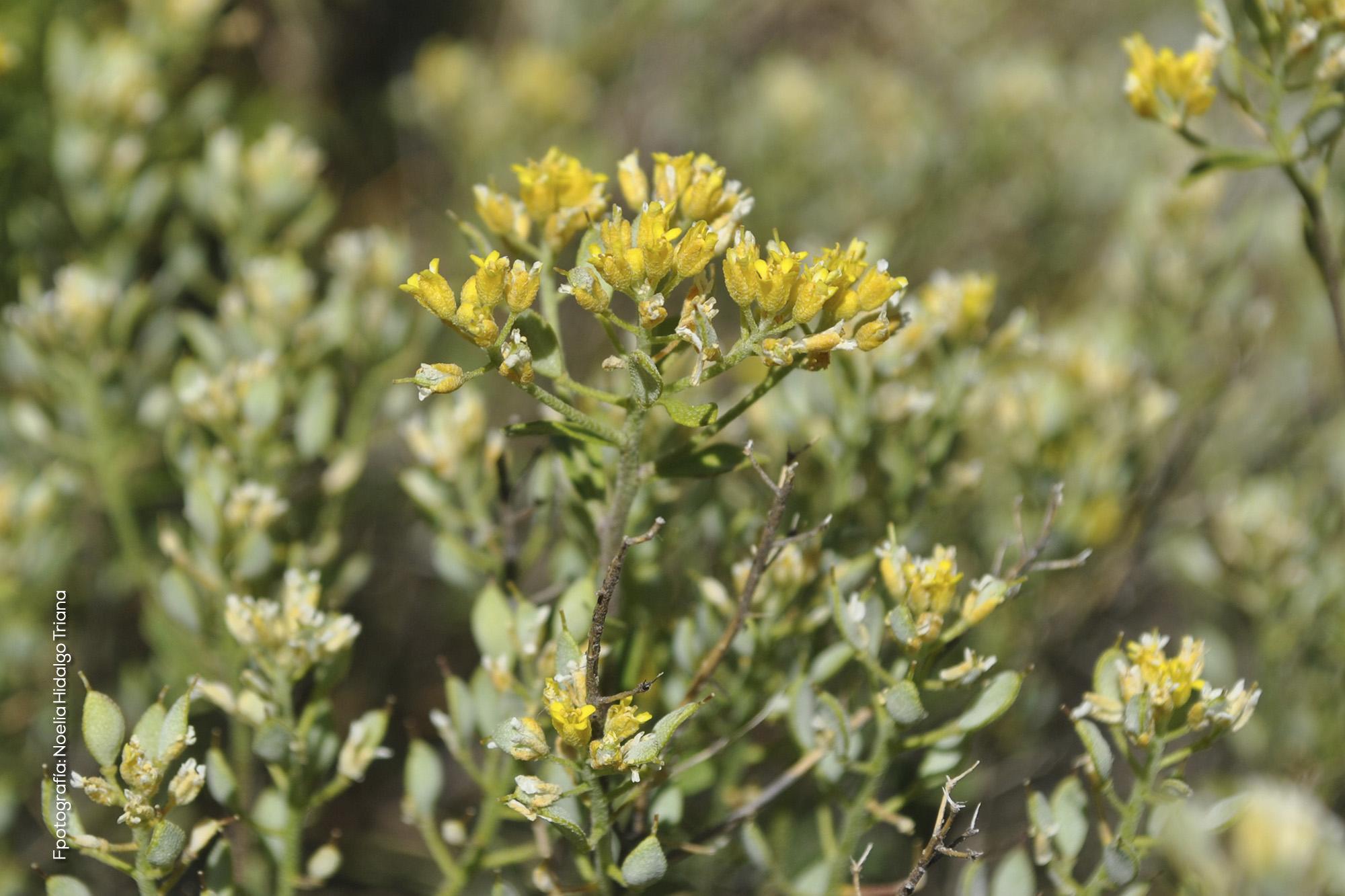 Allyssum serpyllifolium subsp.malacitanum