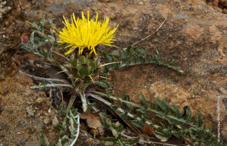 Centaurea haenseleri