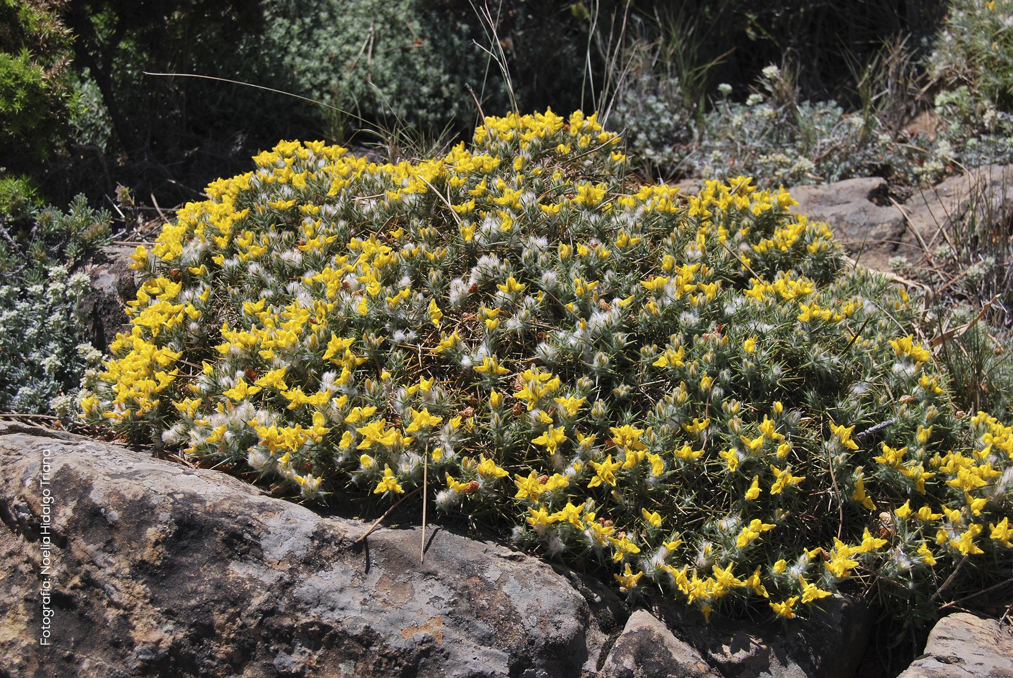 Genista hirsuta subsp. lanuginosa