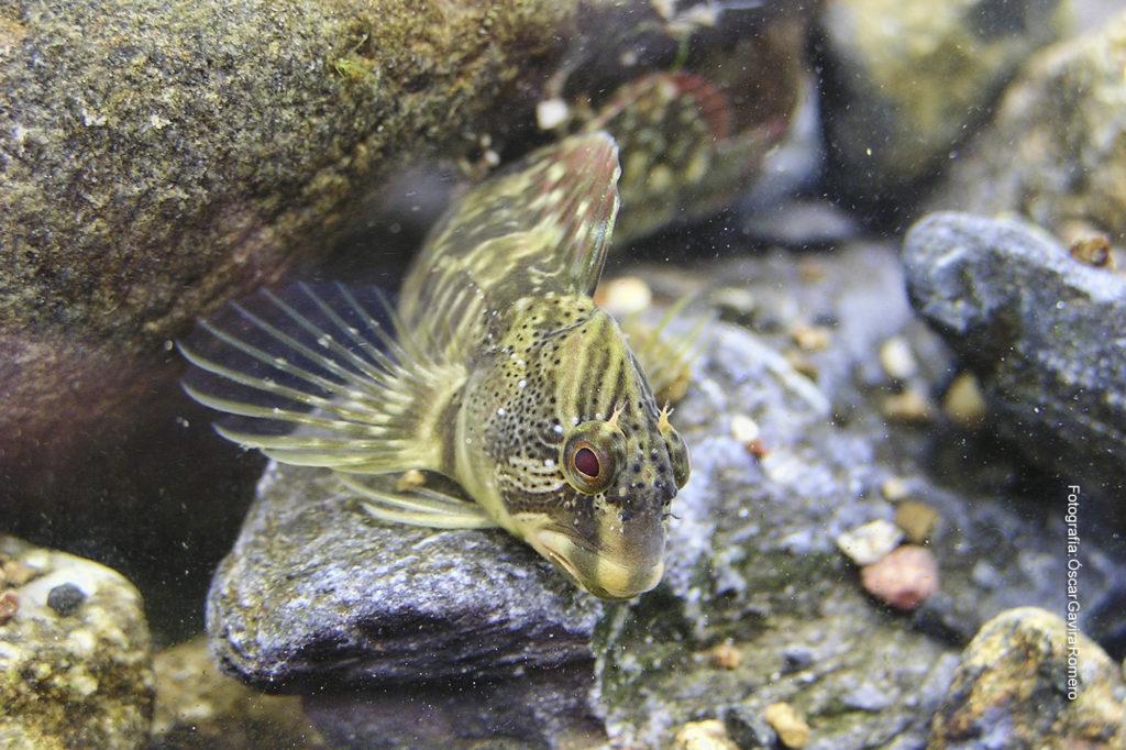 Pez fraile o blenio de río (Salaria fluviatilis)