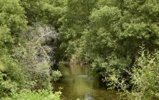 Sauceda (Salix pedicellata) del río Guadaiza