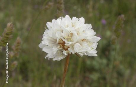 Armeria villosa subsp. carratracensis