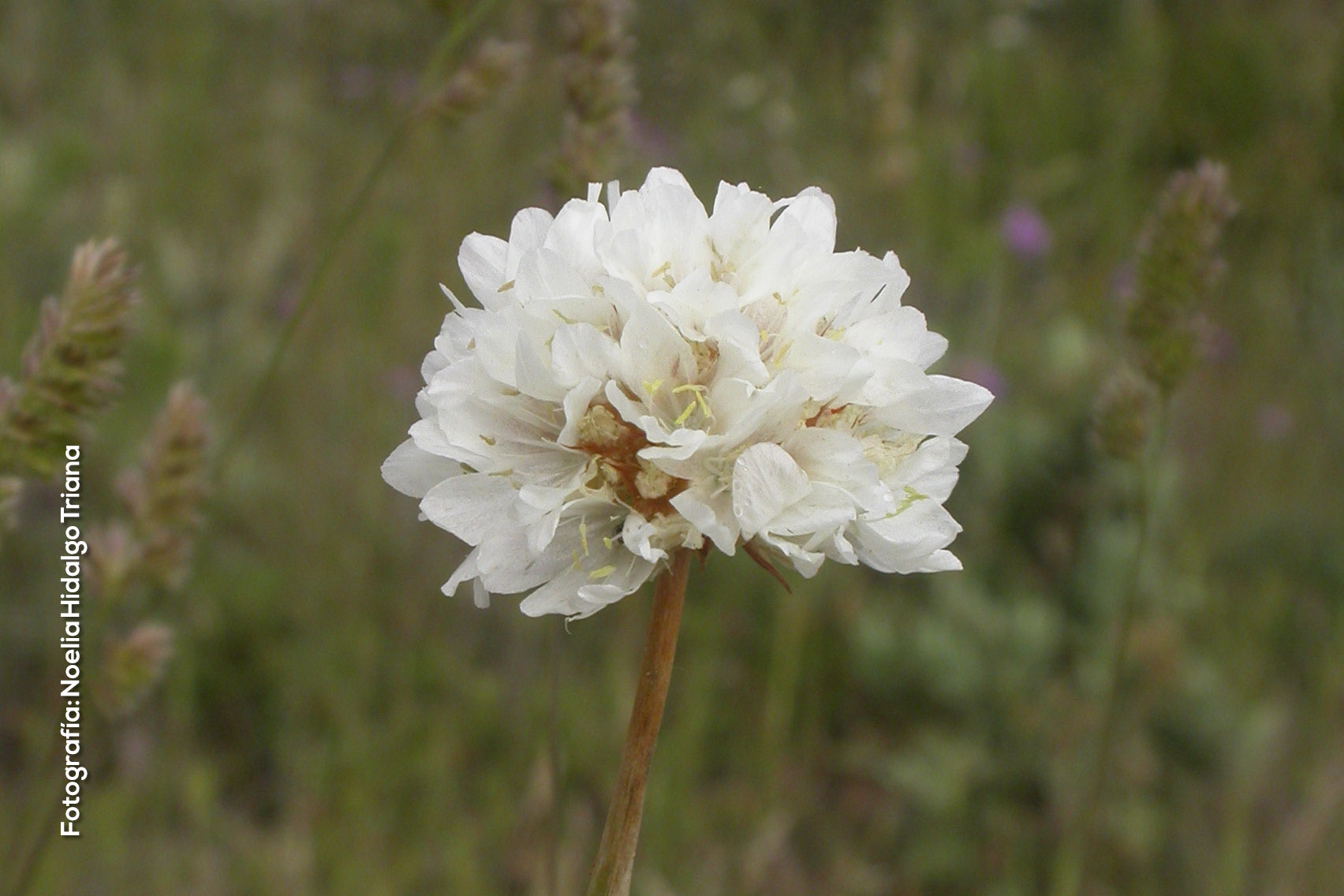Armeria villosa subsp. carratracensis