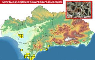 Borbo borbonica en Andalucía