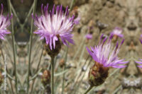 Centaurea carratracensis