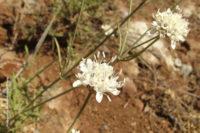 Cephalaria baetica