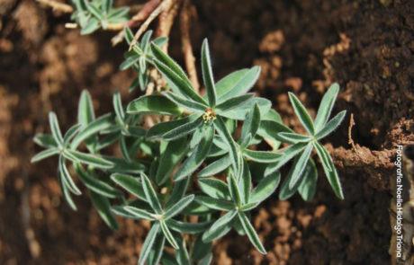 Euphorbia flavicoma subsp. bermejense