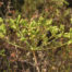 Peucedanum officinale subsp. brachyradium