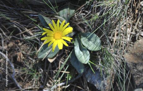 Senecio eriopus subsp. eriopus