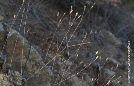 Silene inaperta subsp.serpentinicola