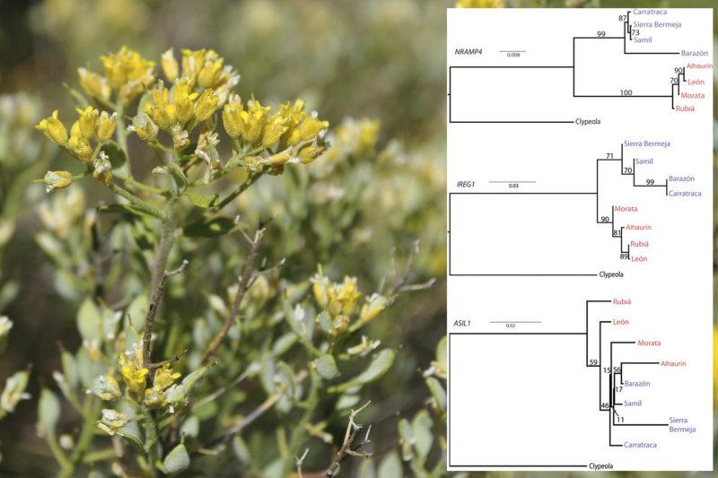 Alyssum serpyllifolium