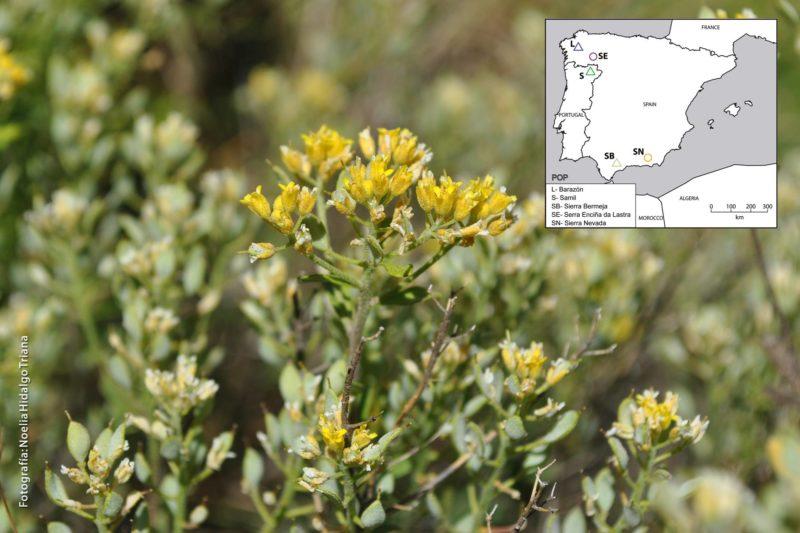 Alyssum serpillifolium