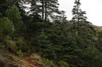 Paseo de los Pinsapos. Sierra Bermeja