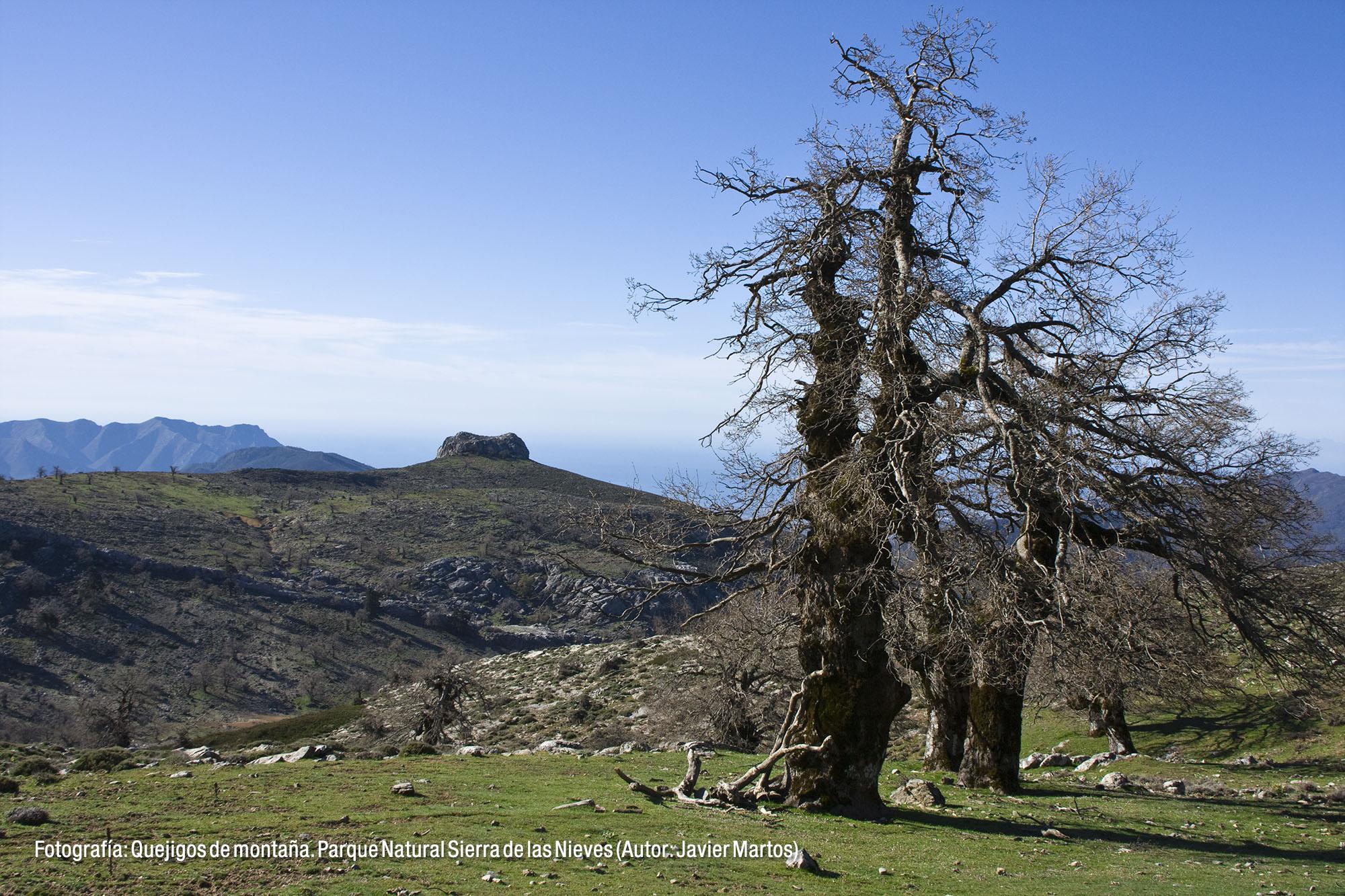 Quejigo de montaña. Parque Natural Sierra de las Nieves