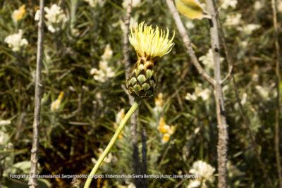 Centaurea lainzii. Endemismo de Sierra Bermeja