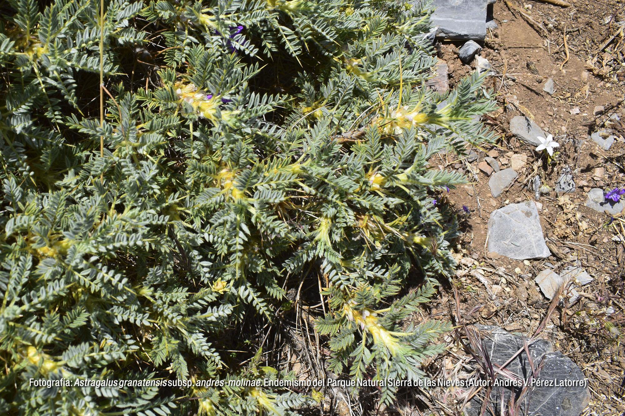 Astragalus granatensis subsp. andres-molinae. Endemismo del Parque Natural Sierra de las Nieves