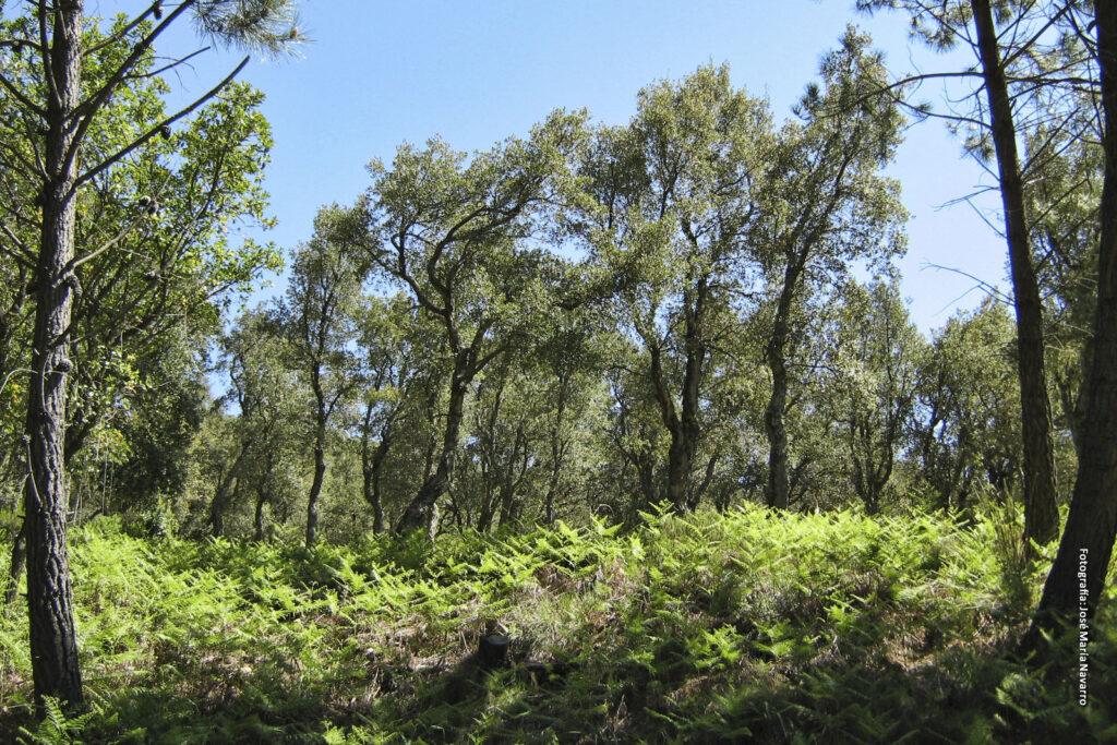 Alcornocal en Sierra Bermeja