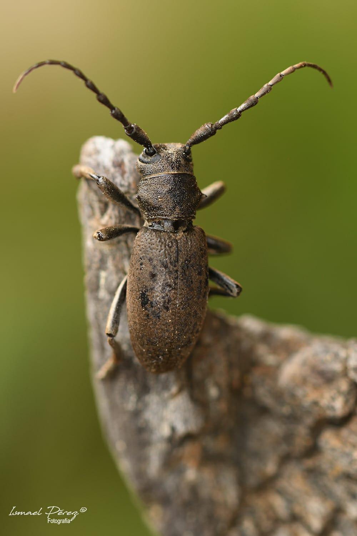 Iberodorcadion (Baeticodorcadion) chiqui (Verdugo, 2014)
