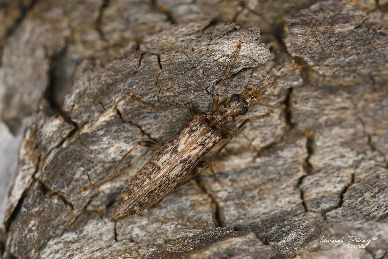 Oedemera (Oncomera) marmorata en Sierra Bermeja