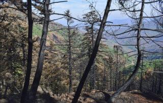 Pinsapos quemados. Incendio de Sierra Bermeja 2021